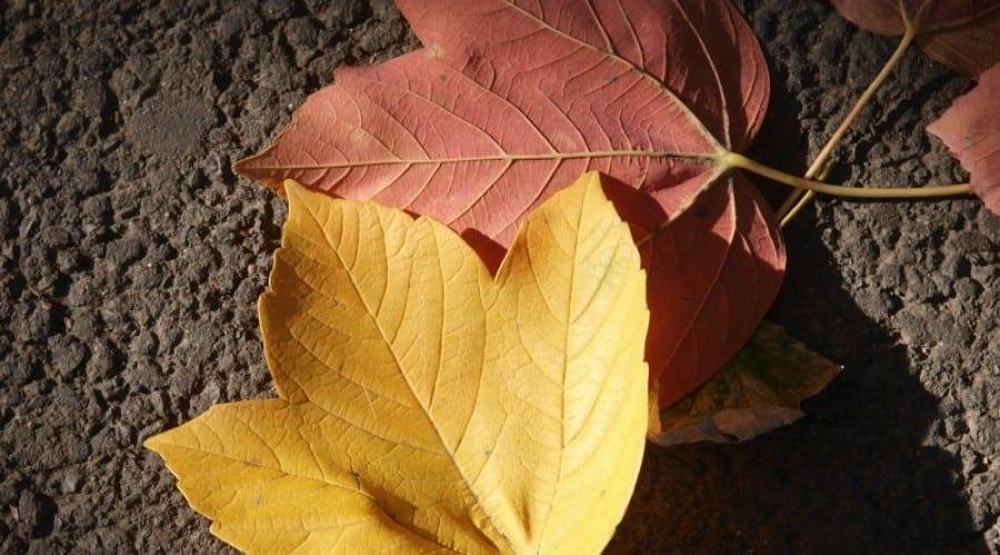 Identifică frunzele copacilor cu aplicația Leafsnap a Universității Columbia