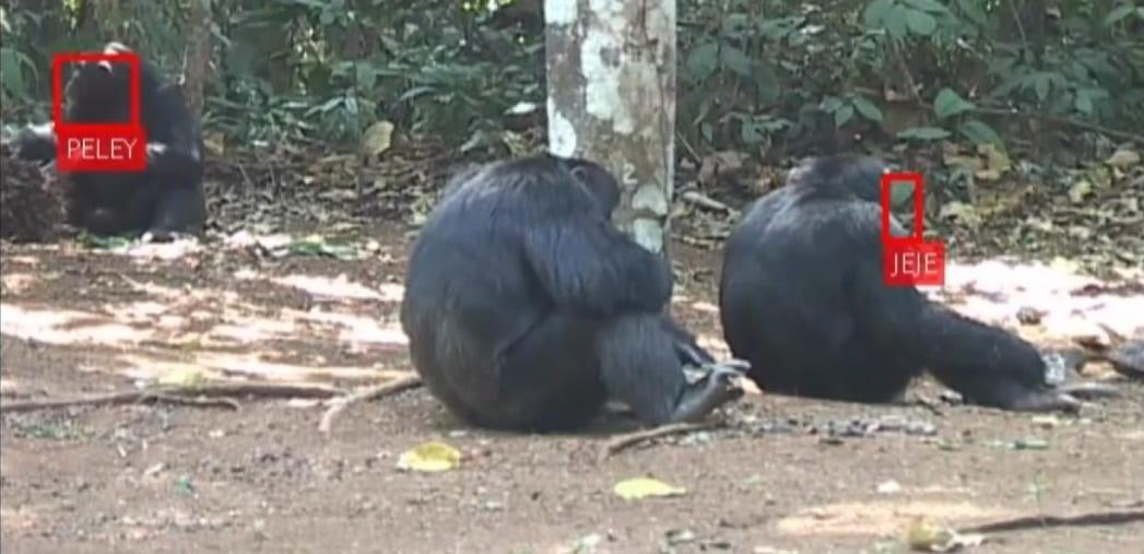 Fără scăpare: Inteligența Artificială identifică fidel și maimuțele
