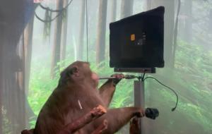 VIDEO Produsul Neuralink prinde contur: o maimuță se poate juca Pong folosindu-și mintea